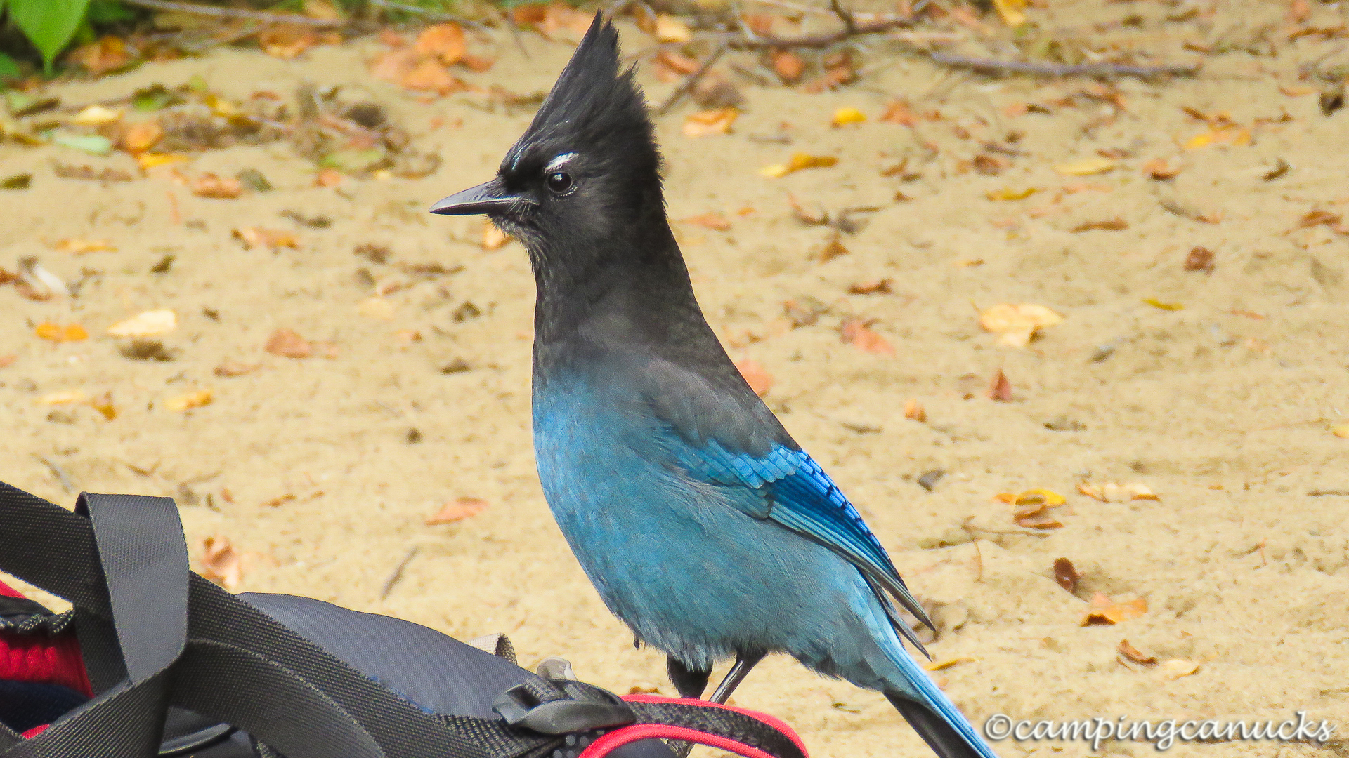 The Steller's Jay who followed us on the last portage
